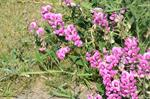 Broad-leaved Everlasting-pea (Lathyrus latifolius)